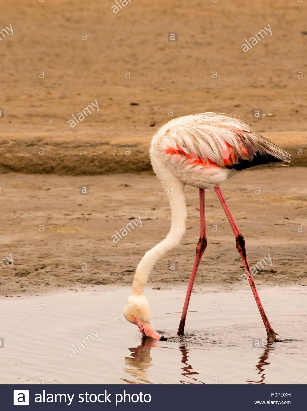 greater flamingo bends over to skim the water with its bill - Stock Image