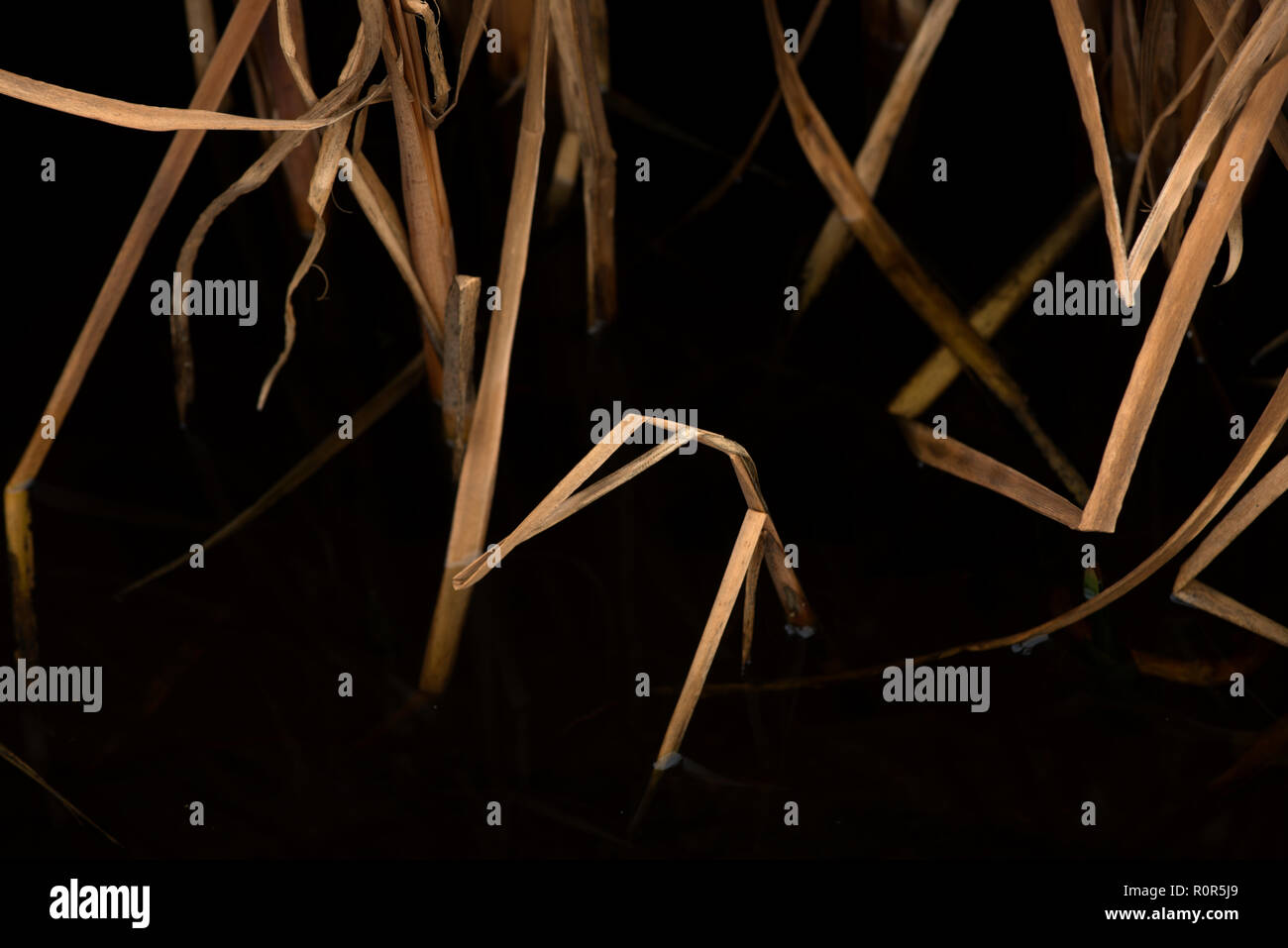Poaceae or Gramineae is a large and nearly ubiquitous family of monocotyledonous flowering plants known as grasses, commonly referred to collectively - Stock Image