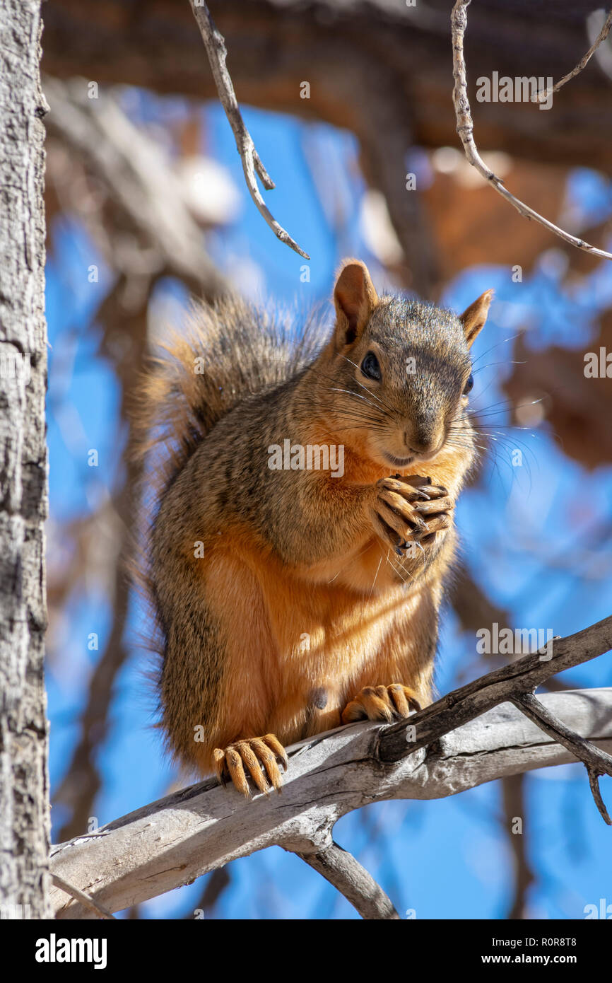 Eastern Fox Squirrel (Sciurus niger) on Plains or Fremont Cottonwood tree in fall, Castle Rock Colorado US. Photo taken in November. - Stock Image