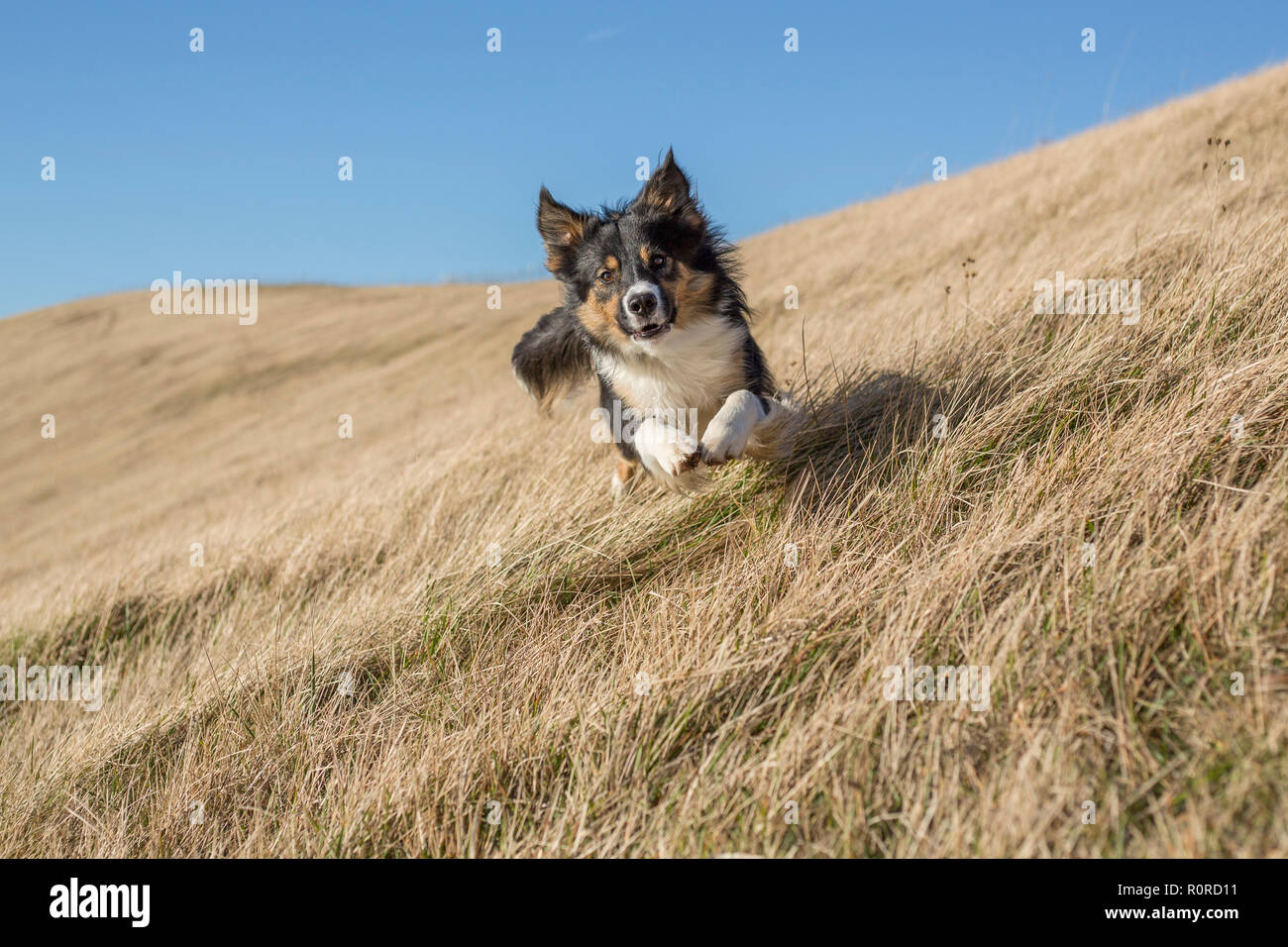 A handsome tri-coloured border collie running down the slope of a grassy bank directly towards the camera. - Stock Image