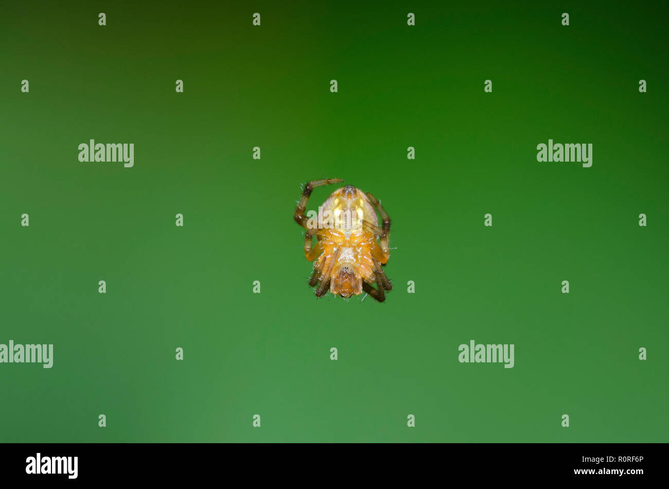 Orb Weaving Spider, Family Araneidae - Stock Image