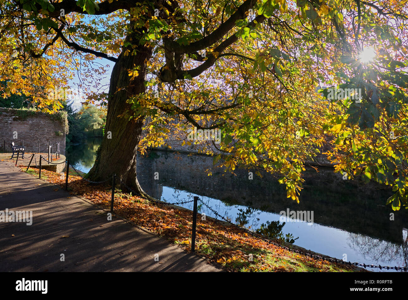 October morning sunlight on s Sweet Chestnut Tree (castenea sativa) at the Moat in Bishop's Palace in Wells, Somerset, UK Stock Photo