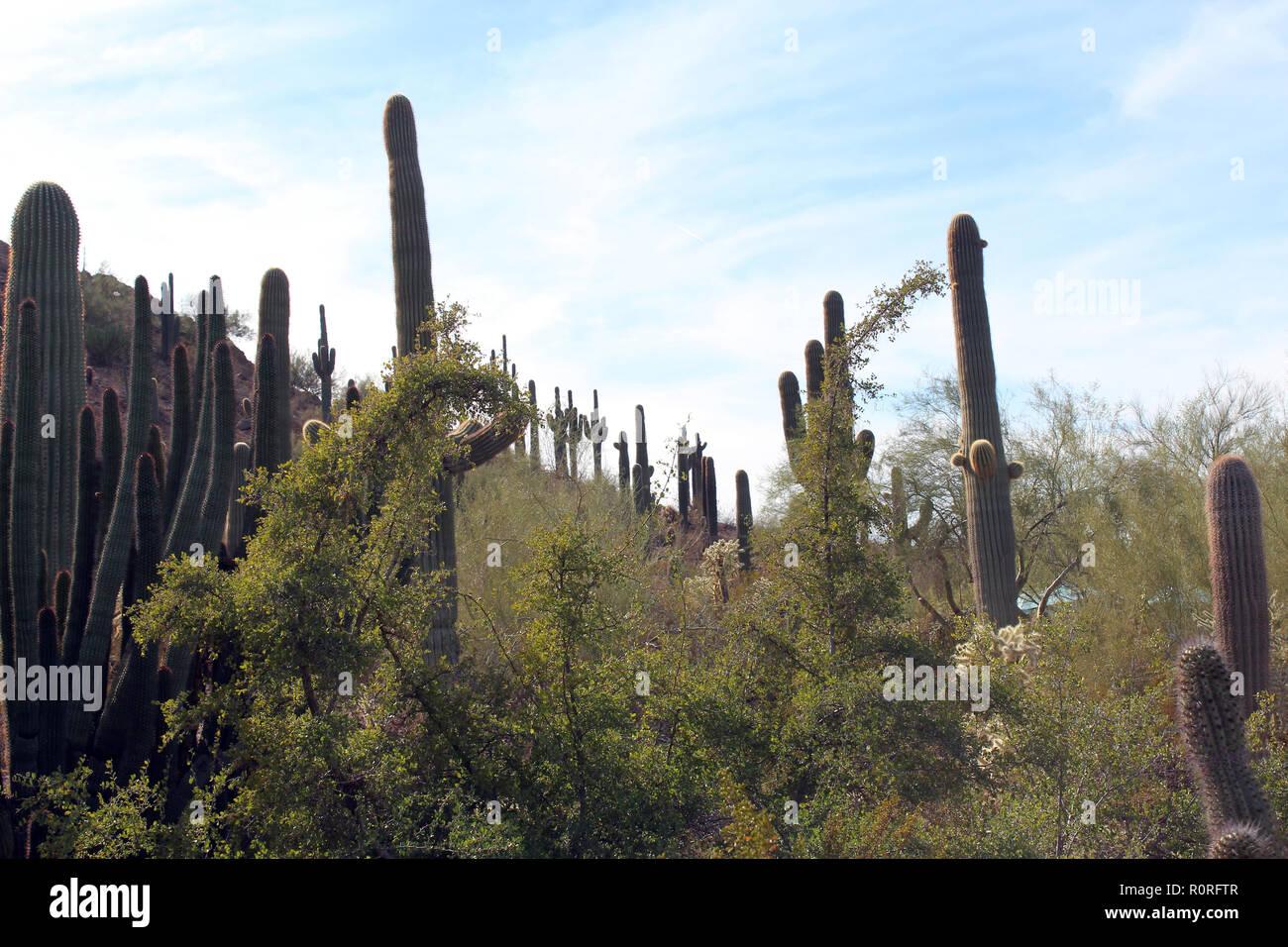 Mountainside covered with Saguro Cacti and shrub brush in the desert of Arizona, USA - Stock Image