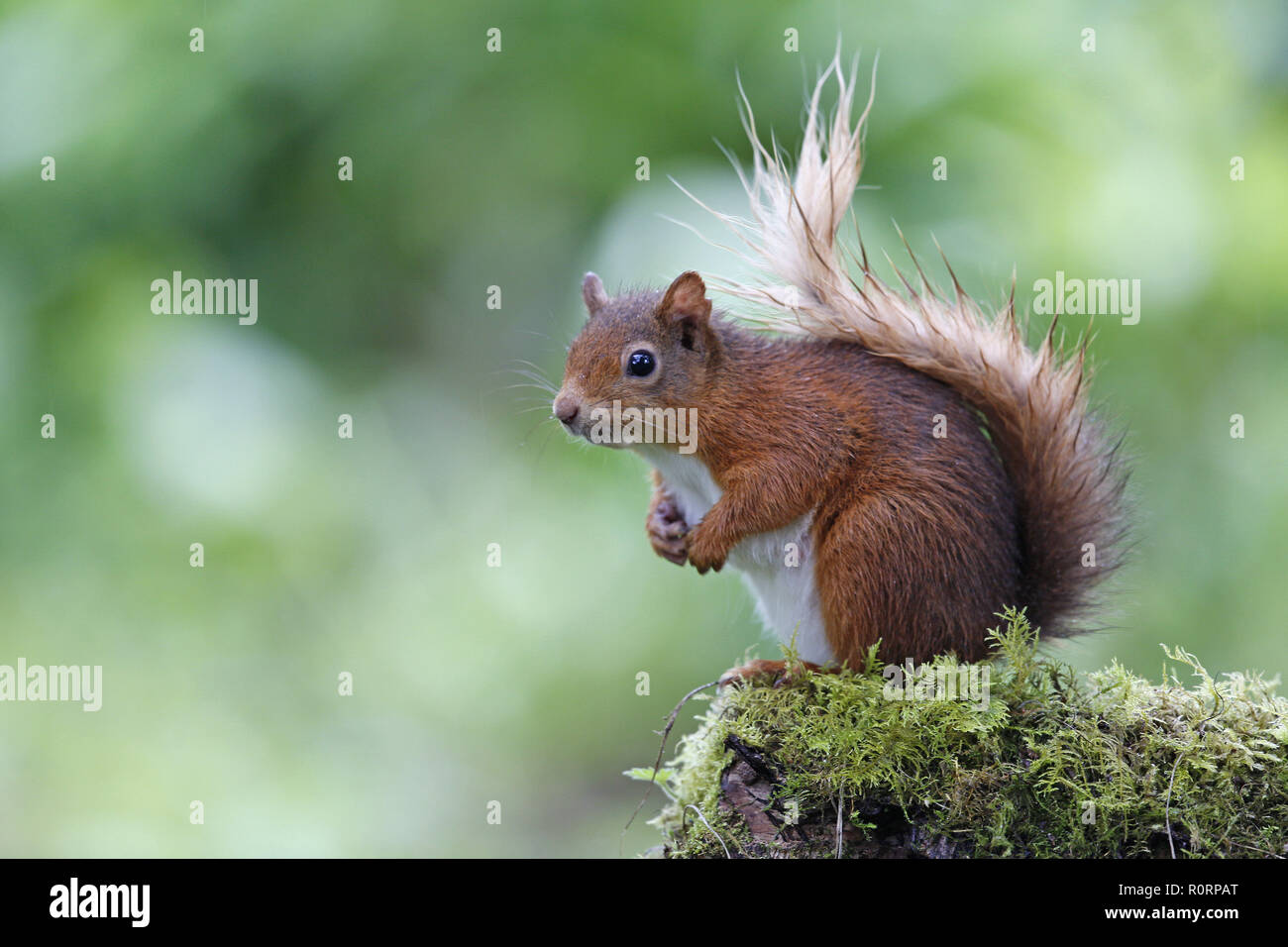Damp Red Squirrel, Sciurus vulgaris Stock Photo