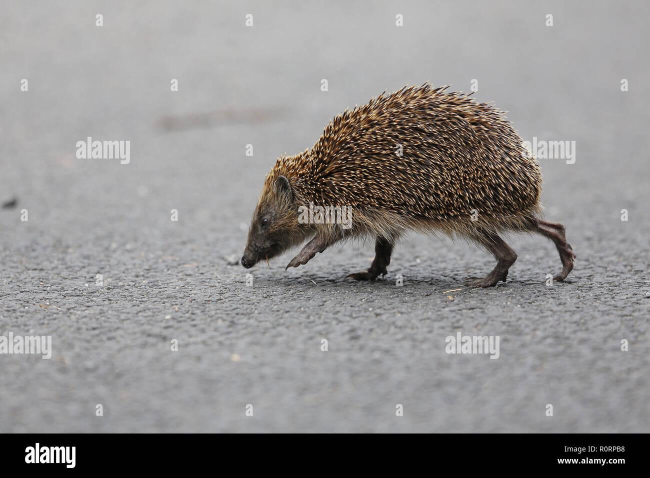 European Hedgehog, Erinaceus europeus, crossing road - Stock Image