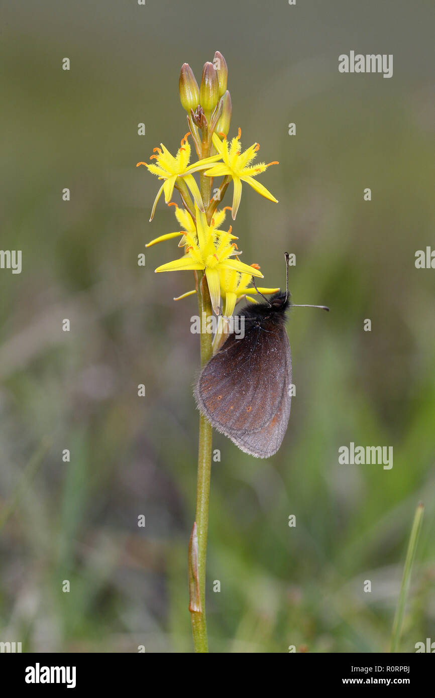 Mountain Ringlet, Erebia epiphron, on Bog Asphodel - Stock Image