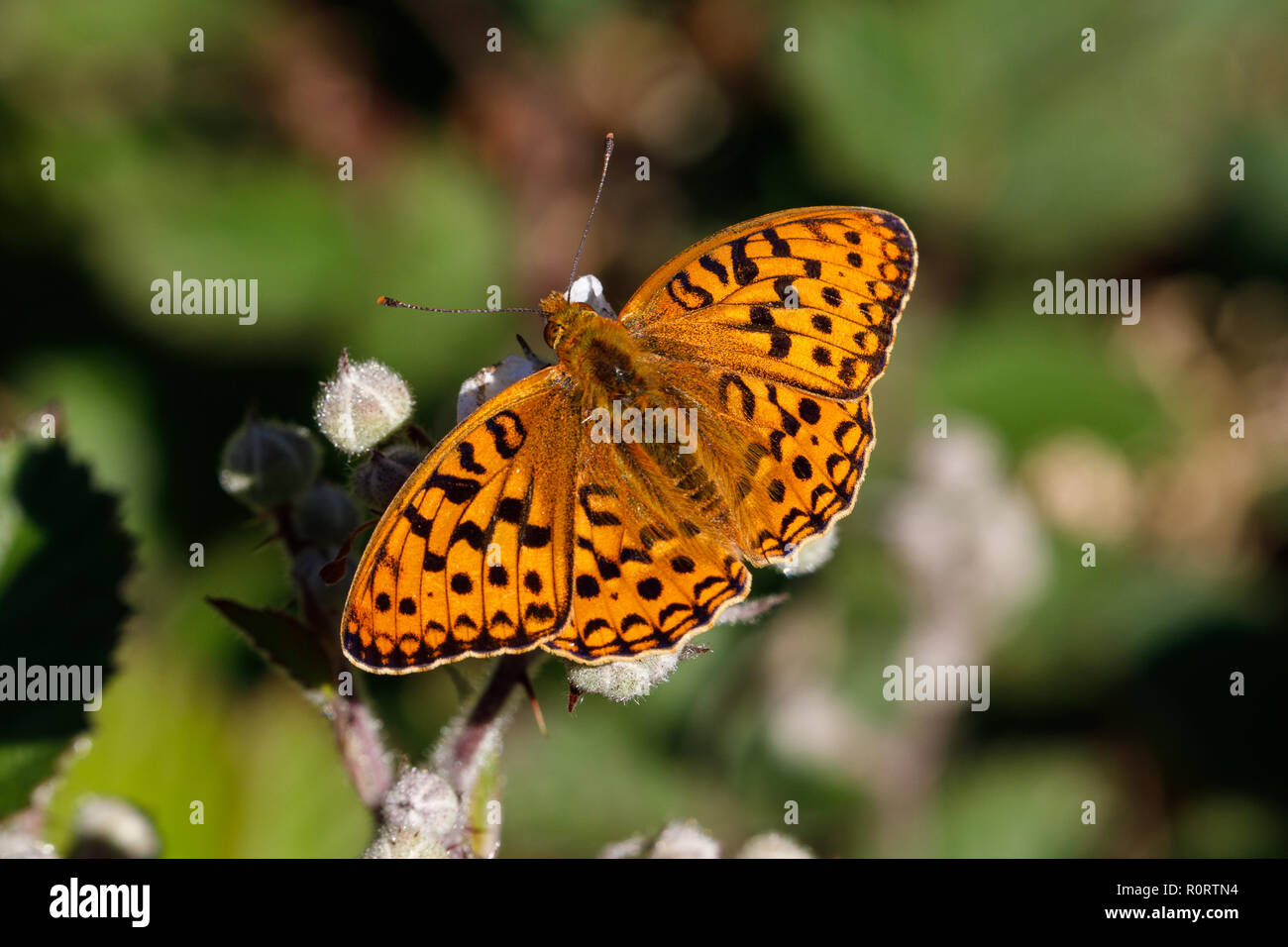 High Brown Fritillary, Argynnis adippe, male feeding on bramble - Stock Image