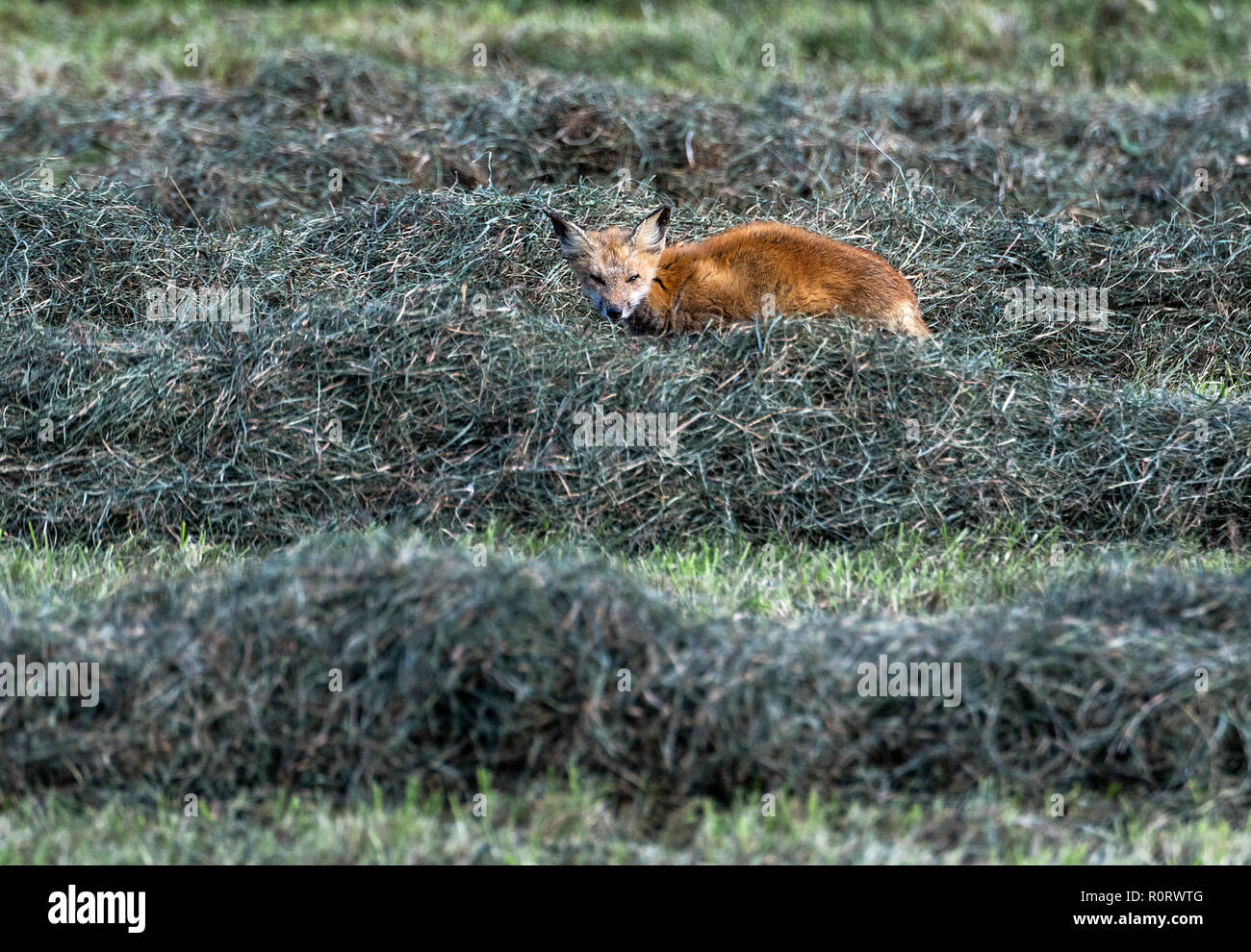 Red fox hunting in a hay field, Tiverton, Rhode Island, USA. - Stock Image