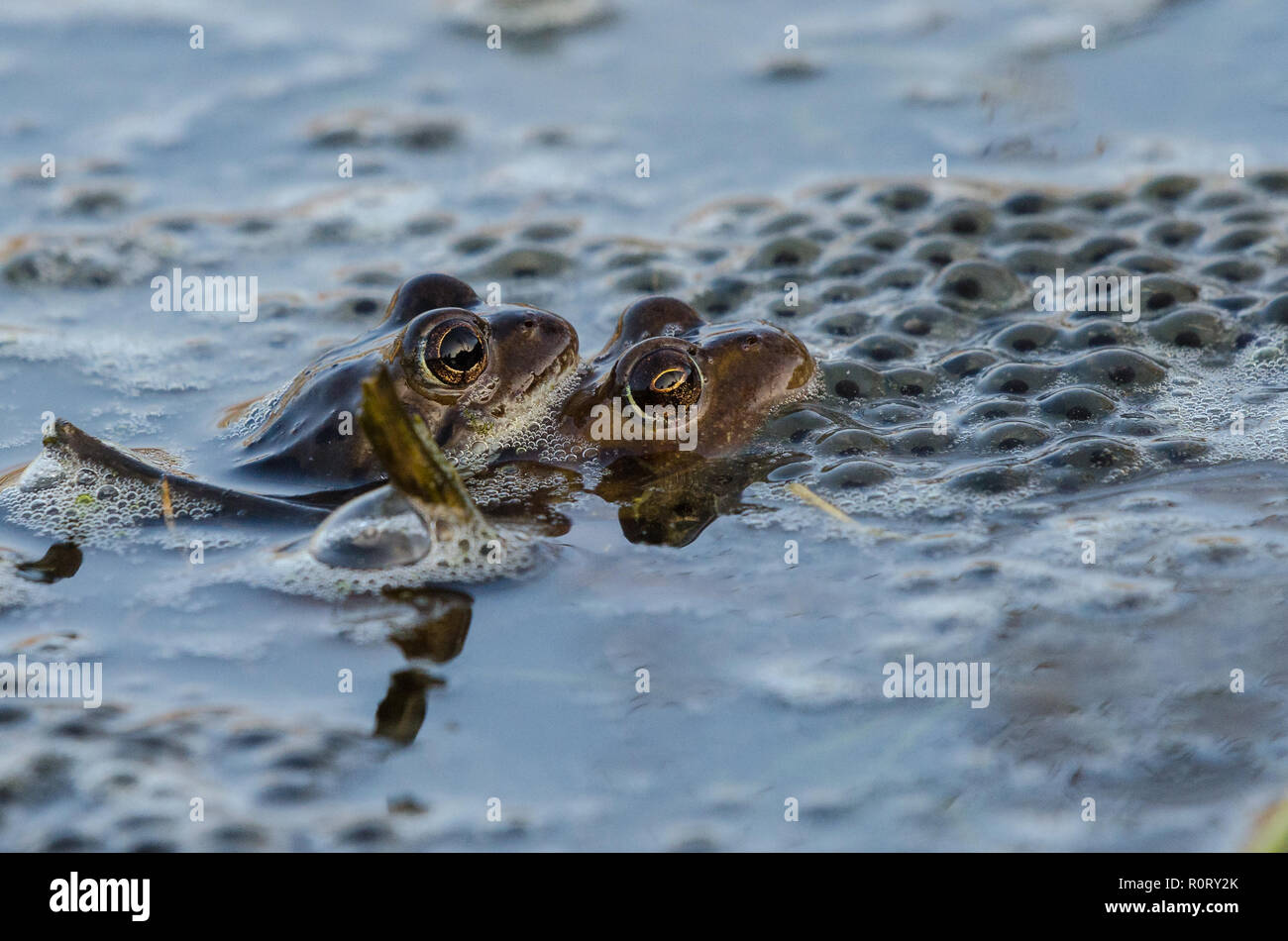 Pair of common frogs Rana temporaria mating amongst  frog spawn on a spring morning. - Stock Image