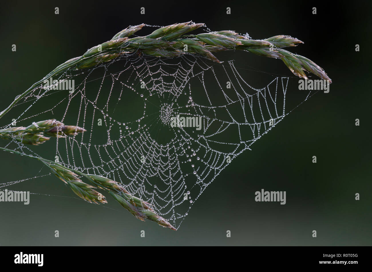 Orb web with dew - Stock Image