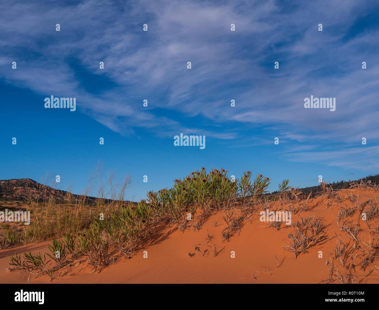 Rough Mulesears plant (Wyethia cabra attenuata), Coral Pink Sand Dunes State Park, Kanab, Utah. - Stock Image