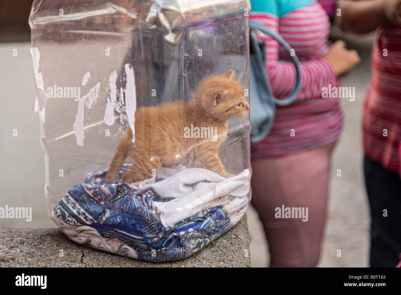 A young kitten being carried in a plastic food container in San Miguel de Allende, Mexico. - Stock Image