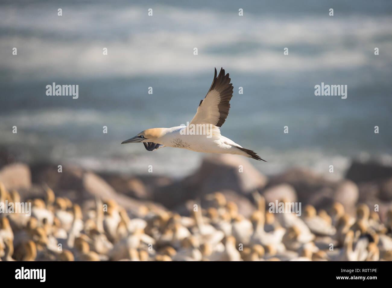 Cape Gannet bird (Morus capensis) in flight over wild bird colony Bird Island, Lamberts Bay, South Africa Stock Photo