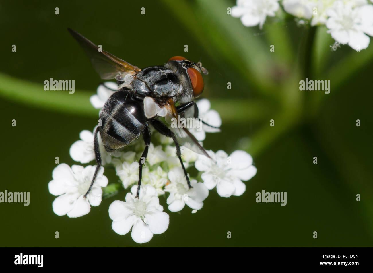 Tachinid fly, Gymnoclytia occidua, female Stock Photo