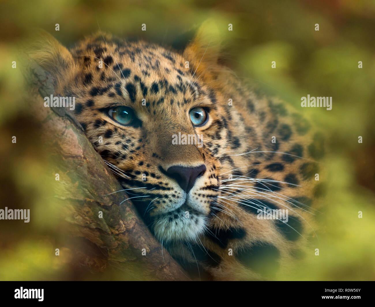 Amur leopard  Panthera pardus orientalis     CAPTIVE - Stock Image