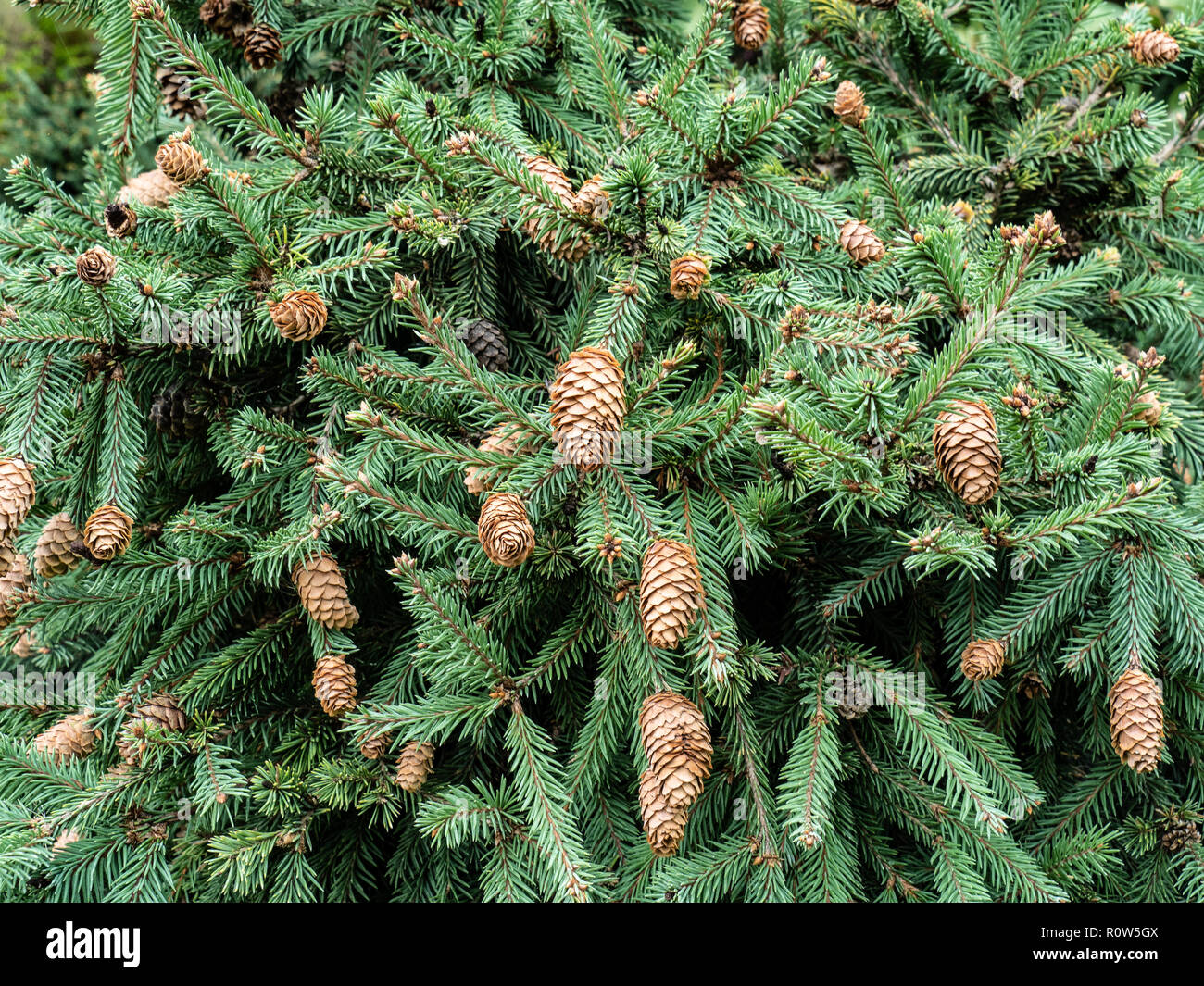 A close up of the foliage and cones of Picea abies Pusch - Stock Image