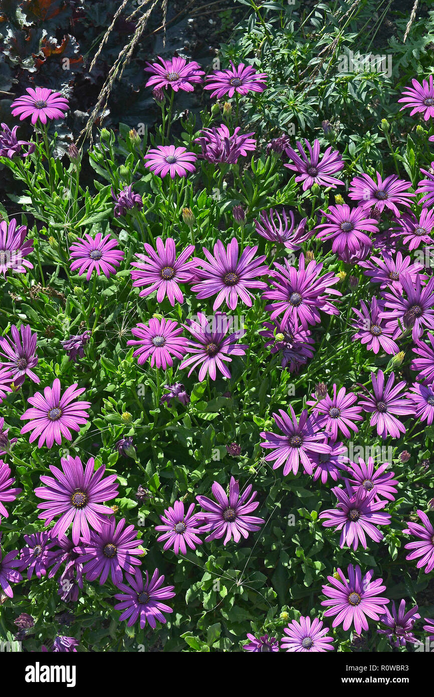 Close up of a flower border with colouful flowering Osteospermum African Daisy Stock Photo