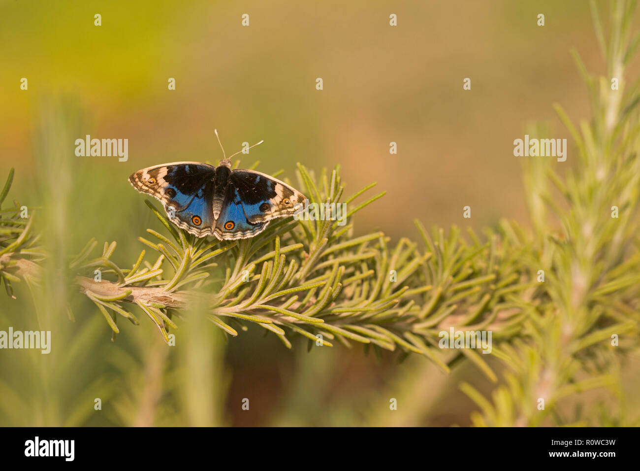 male Junonia orithya (Blue Pansy) is a nymphalid butterfly with many subspecies occurring from Africa, through southern and south-eastern Asia, and in - Stock Image