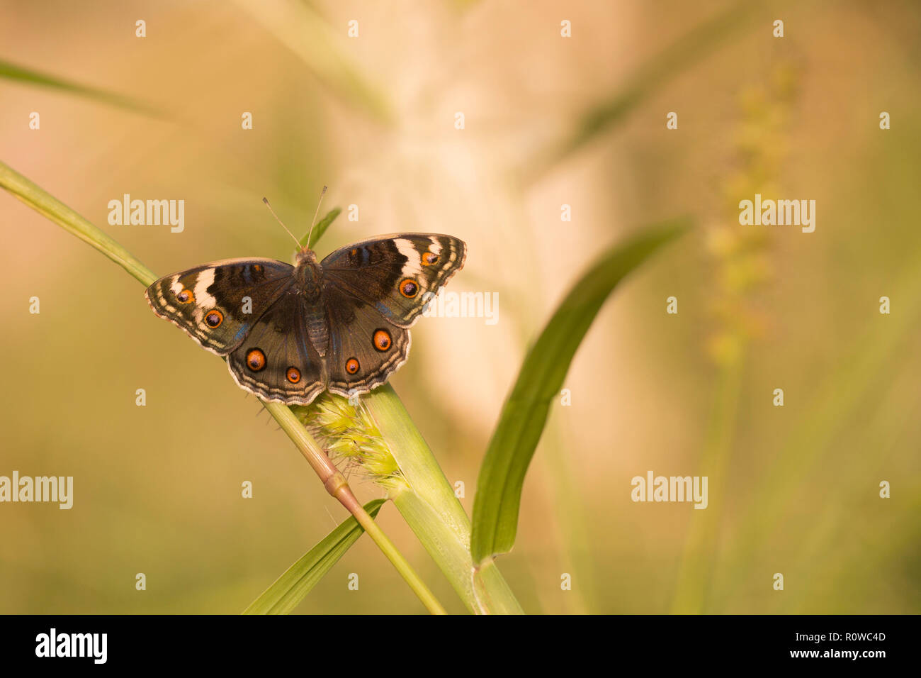 Female Junonia orithya (Blue Pansy) is a nymphalid butterfly with many subspecies occurring from Africa, through southern and south-eastern Asia, and  - Stock Image