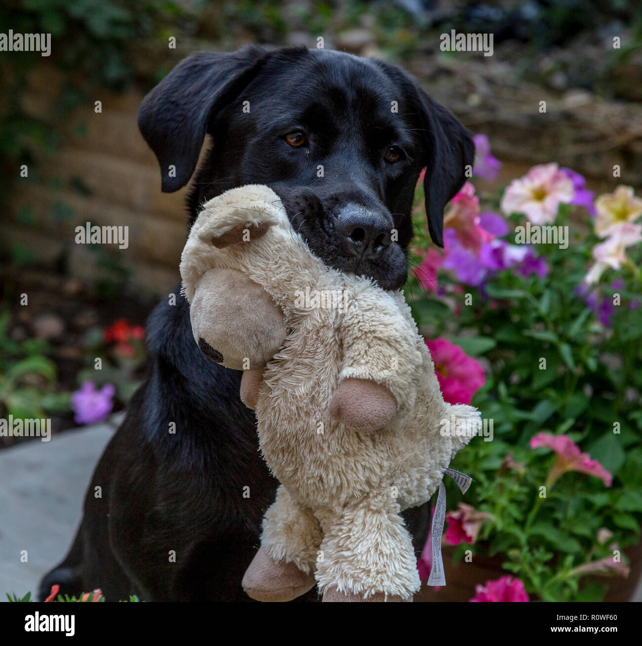 A black labrador retriever holding a soft toy in his mouth. - Stock Image