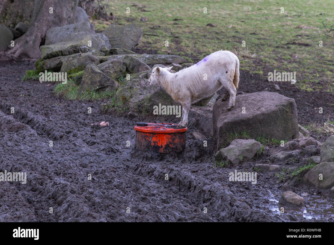 A single sheep in winter drinking liquid nutrient. - Stock Image