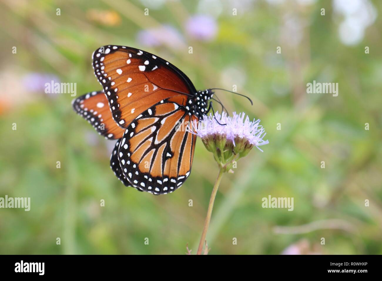 Closeup of a monarch butterfly on a purple wildflower about to fly away - Stock Image