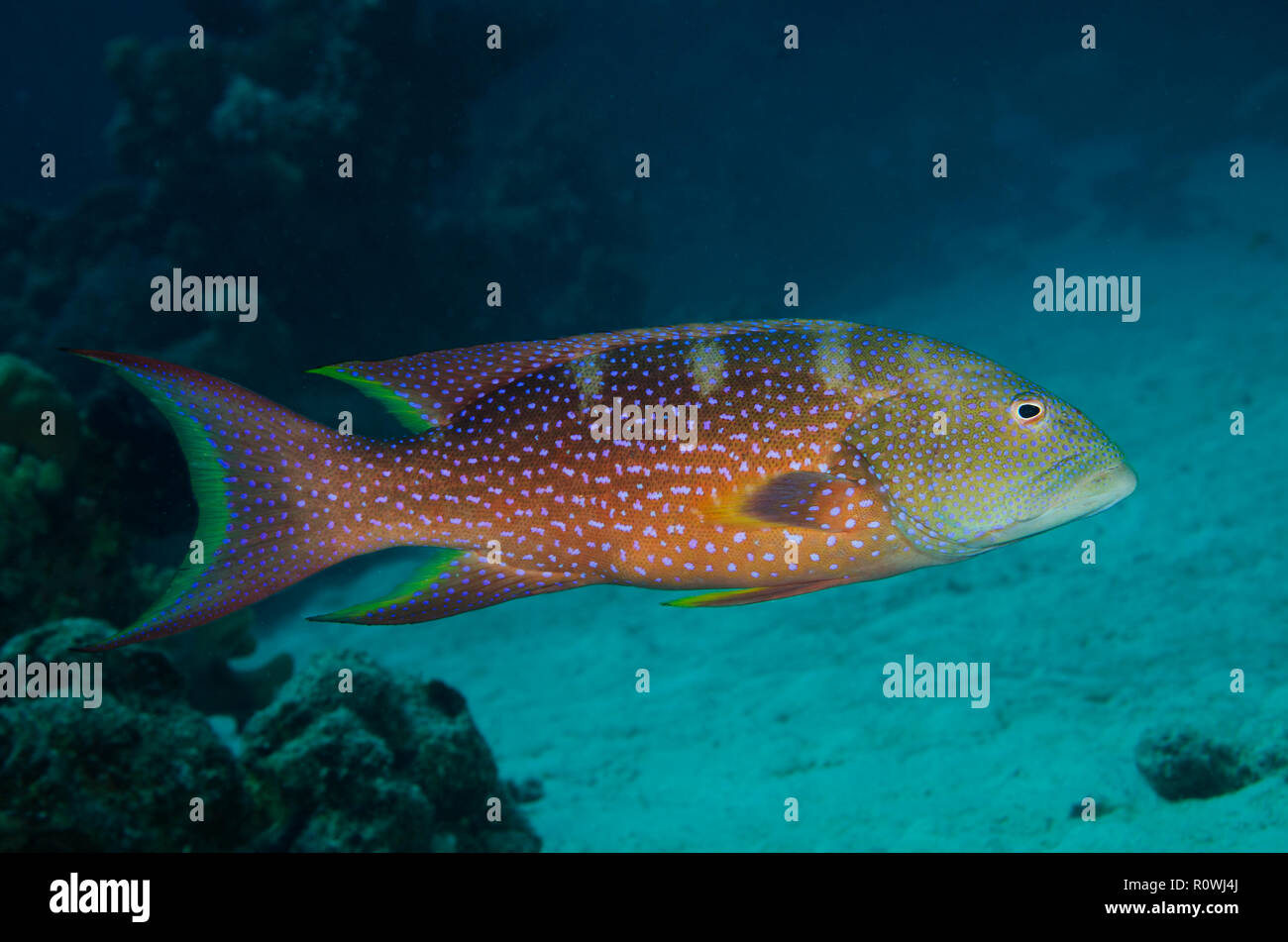 Yellow-edged lyretail, Lyretail grouper or Caramel cod, Variola louti, swimming over coral reef, Hamata, Red Sea, Egypt, - Stock Image