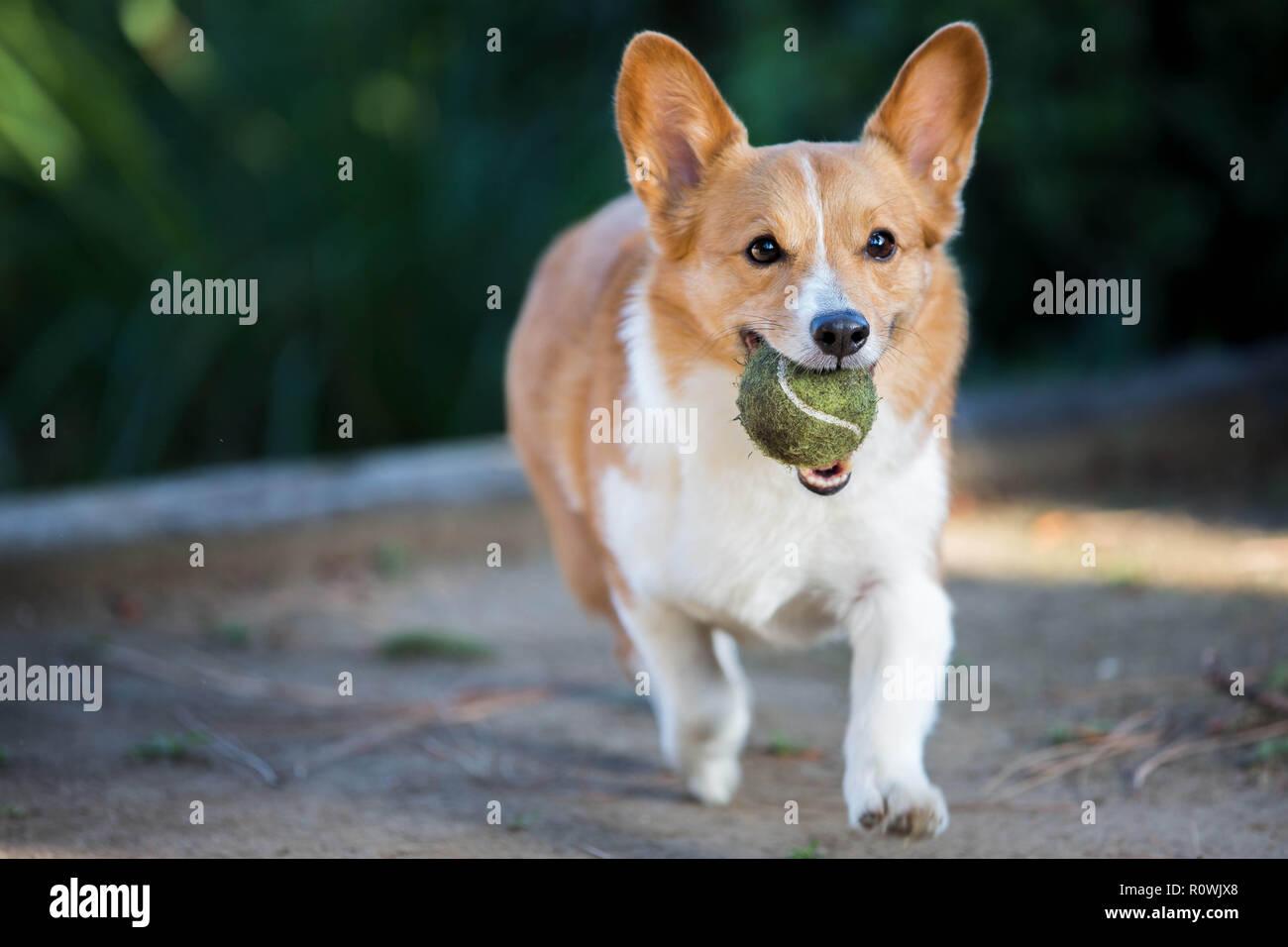 Pembroke Welsh Corgi Playing With Tennis Ball - Stock Image