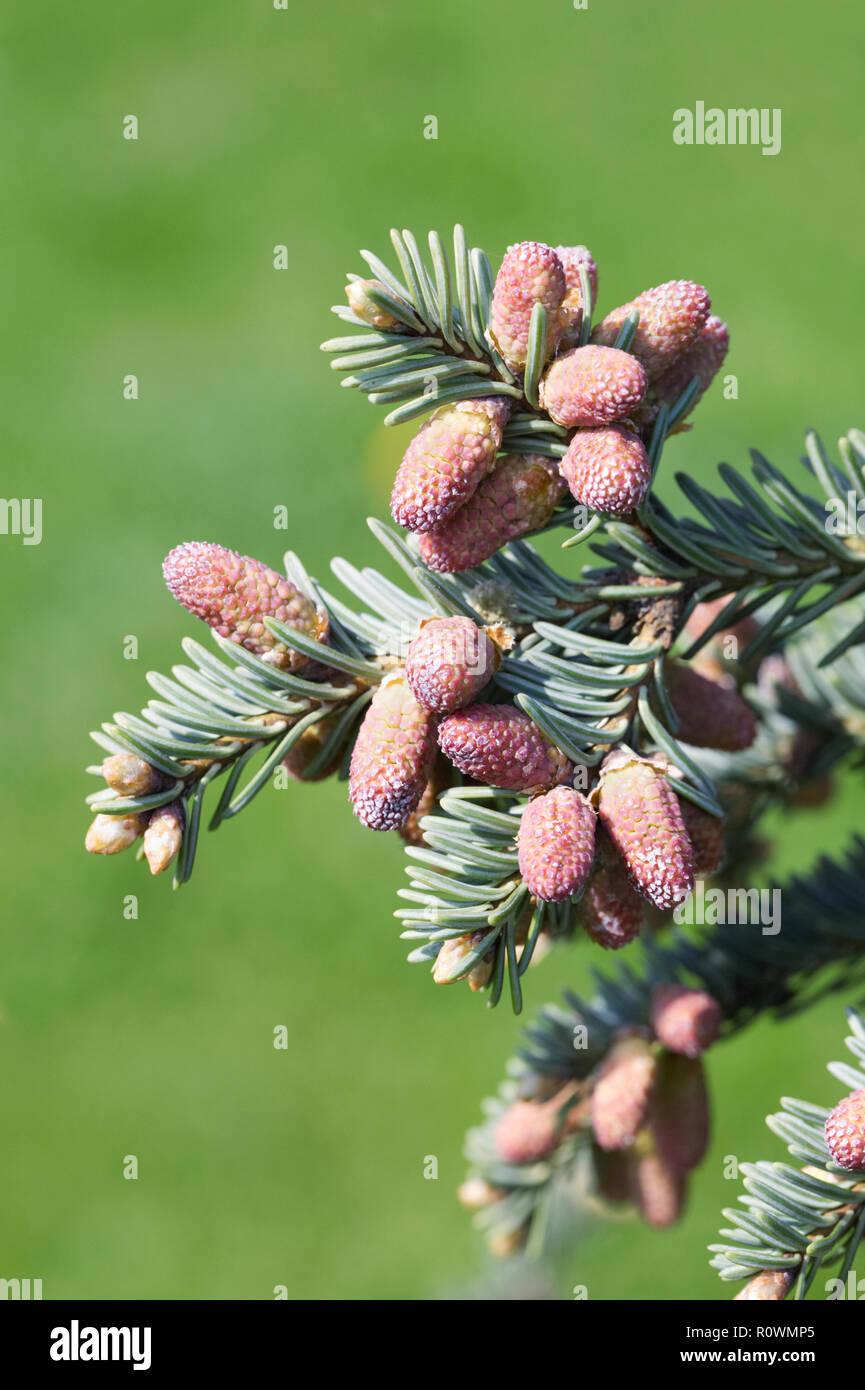 Abies vejarii blue-leaved cones. - Stock Image