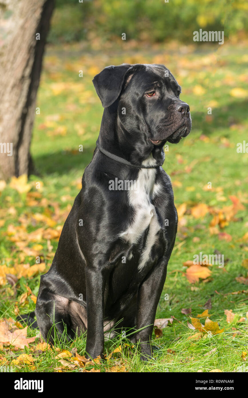 Portrait Of A Cane Corso Dog Breed On A Nature Background Dog Playing On The Grass With Colored Leaves In Autumn Italian Mastiff Puppy Stock Photo Alamy