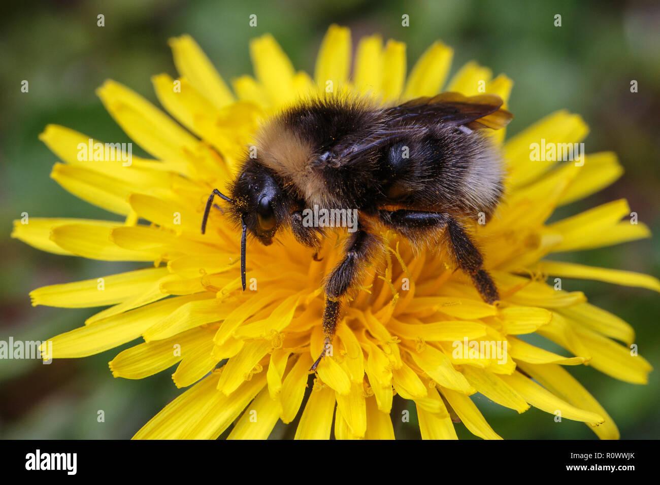 Forest Cuckoo Bumblebee, Bombus sylvestris, female feeding on Dandylion flowerhead - Stock Image