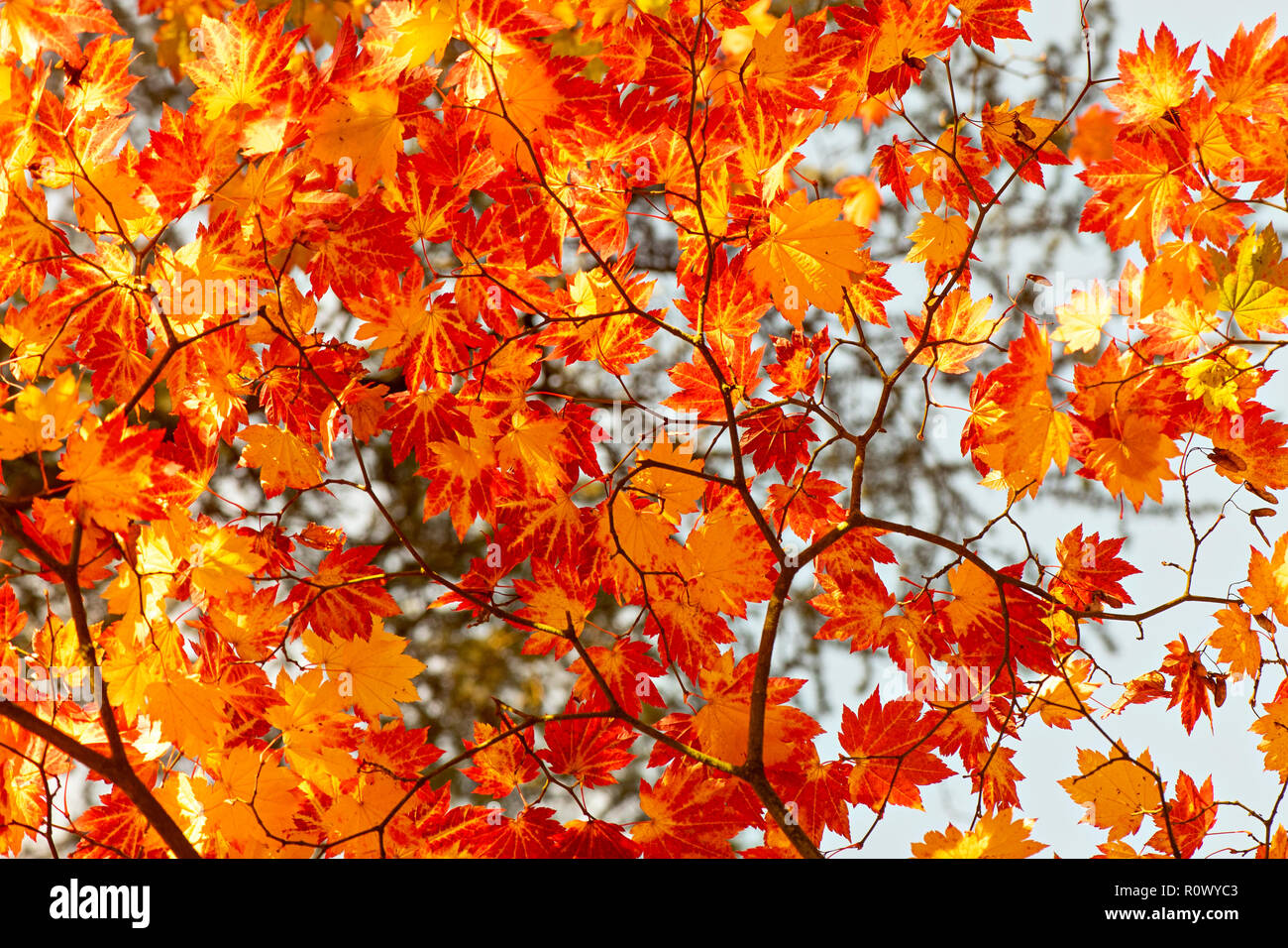 Backgrounds Patterns Acer Stock Photos Backgrounds Patterns Acer