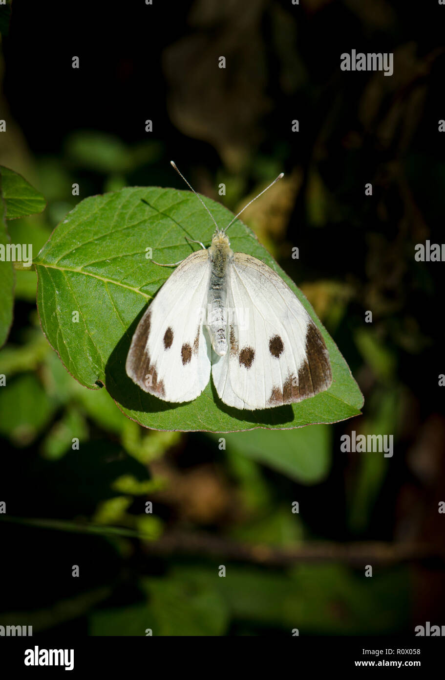 Large white, cabbage butterfly, cabbage white, Piers brassiere, resting on leaf, Andalusia, Spain. - Stock Image