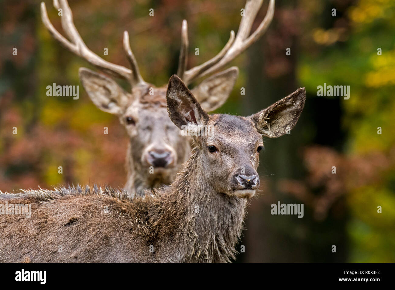 Red deer (Cervus elaphus) female / hind and stag / male in autumn forest in the Ardennes during the hunting season Stock Photo