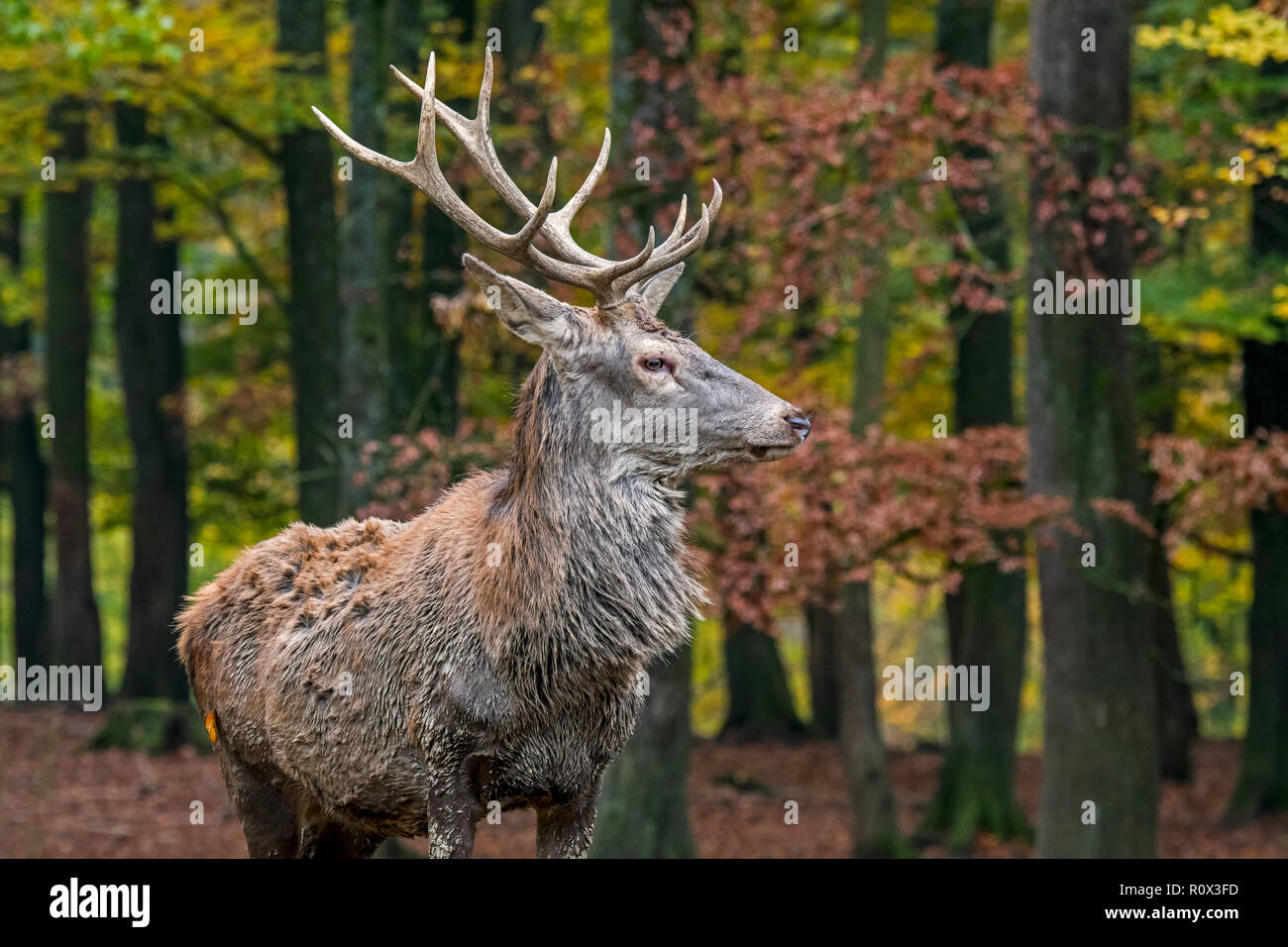 Young red deer (Cervus elaphus) stag / male in autumn forest in the Ardennes during the hunting season - Stock Image