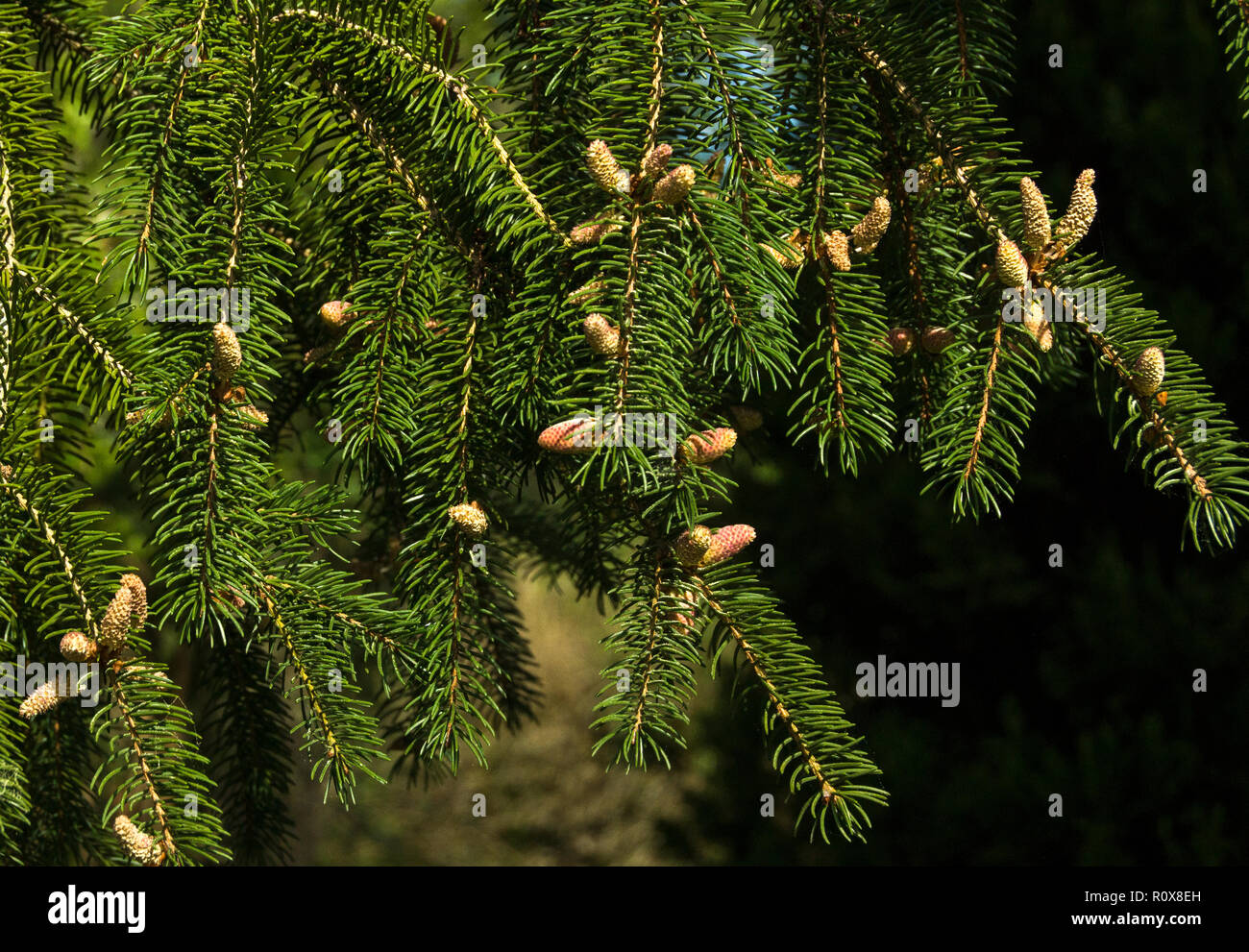 Norway Spruce (Picea abies) in early spring.The male flowers are yellow,the female flowers are pink. - Stock Image
