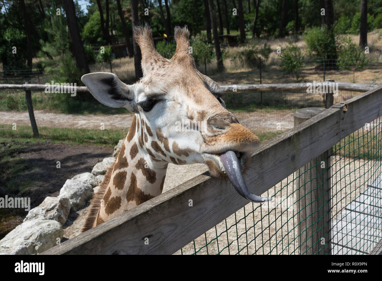 Giraffe with long tongue looks over the fence. Head close-up - Stock Image