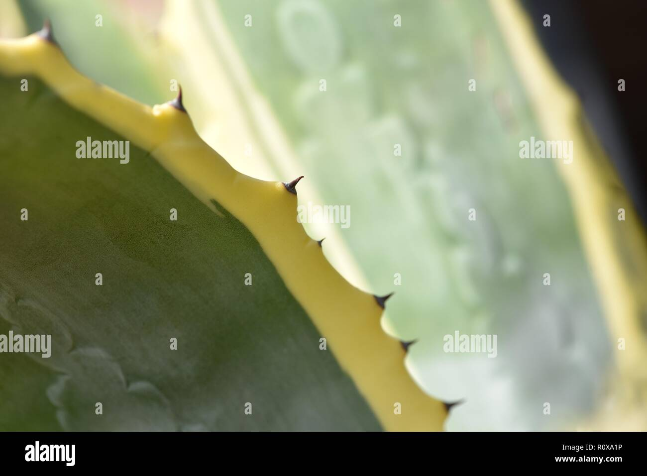 Agave americana variegata: a detail of tips of the leaves of an Agave plant - Stock Image