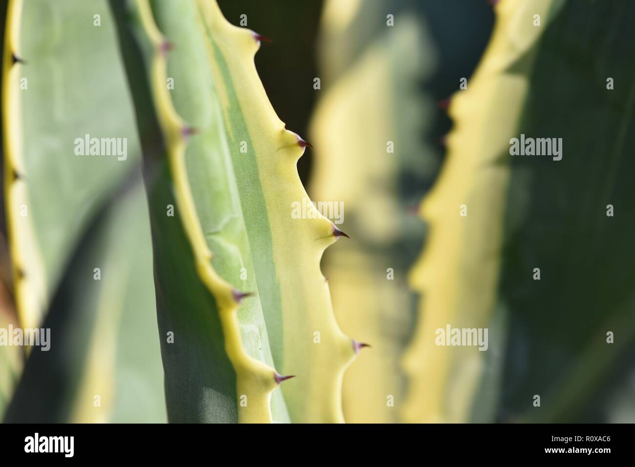 Agave americana variegata: the ridgid tongues of an Agave plant - Stock Image