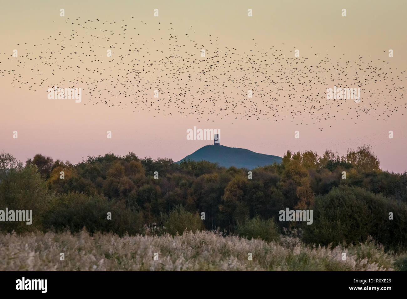 Evening starling murmuration in Glastonbury, Somerset, UK - Stock Image