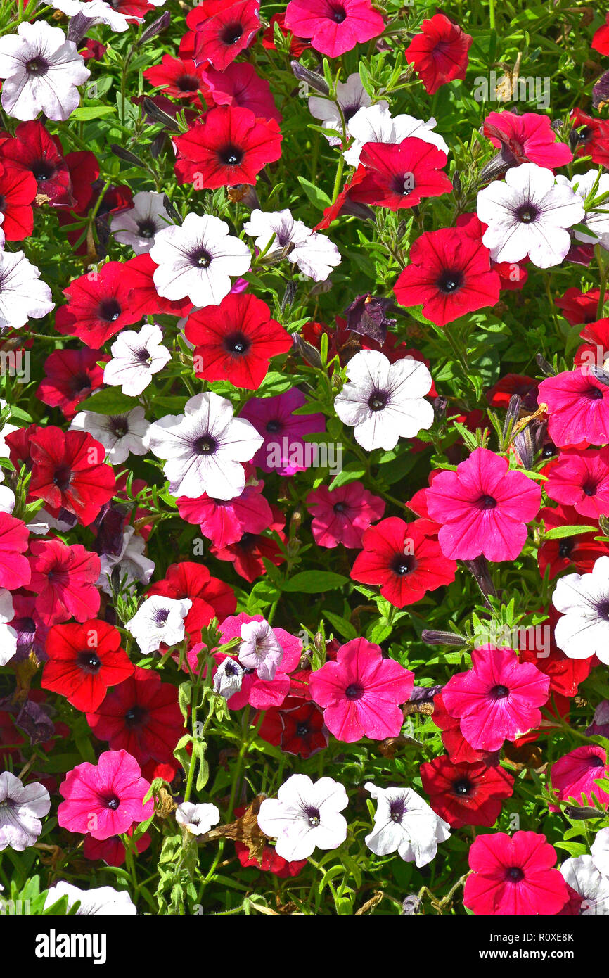 Close up of a flower border with colouful flowering Petunias in assorted colours Stock Photo