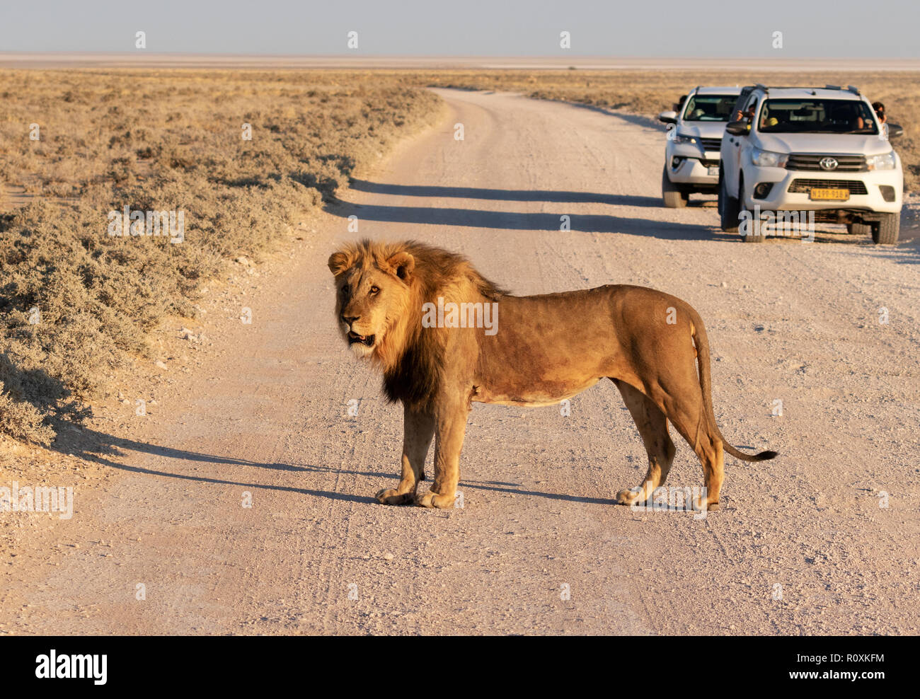 Lion crossing the road - an adult male lion crossing the road in front of cars, Etosha National Park, Namibia Africa - Stock Image