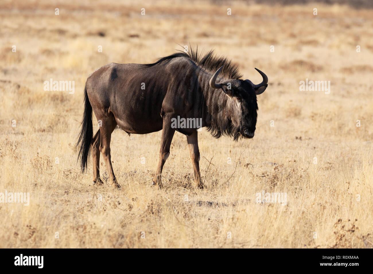 Blue Wildebeest ( Connochaetes taurinus ), or Brindled Gnu, Etosha national park, Namibia Africa - Stock Image