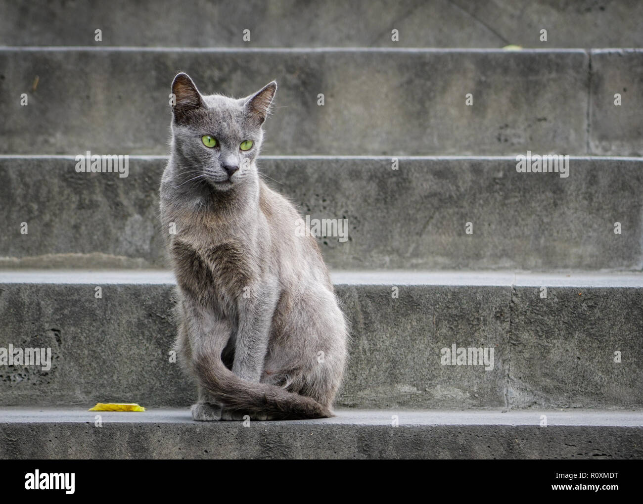 Beautiful gray cat with green eyes sitting on a gray stone staircase - Stock Image