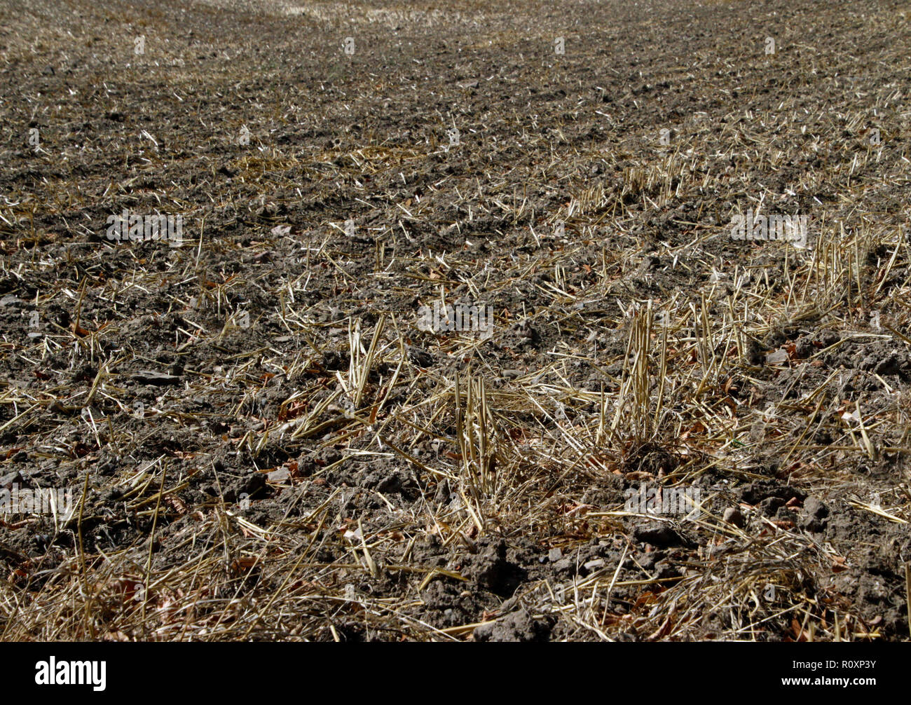 Dried up wheat field after heat wave in Europe - Stock Image