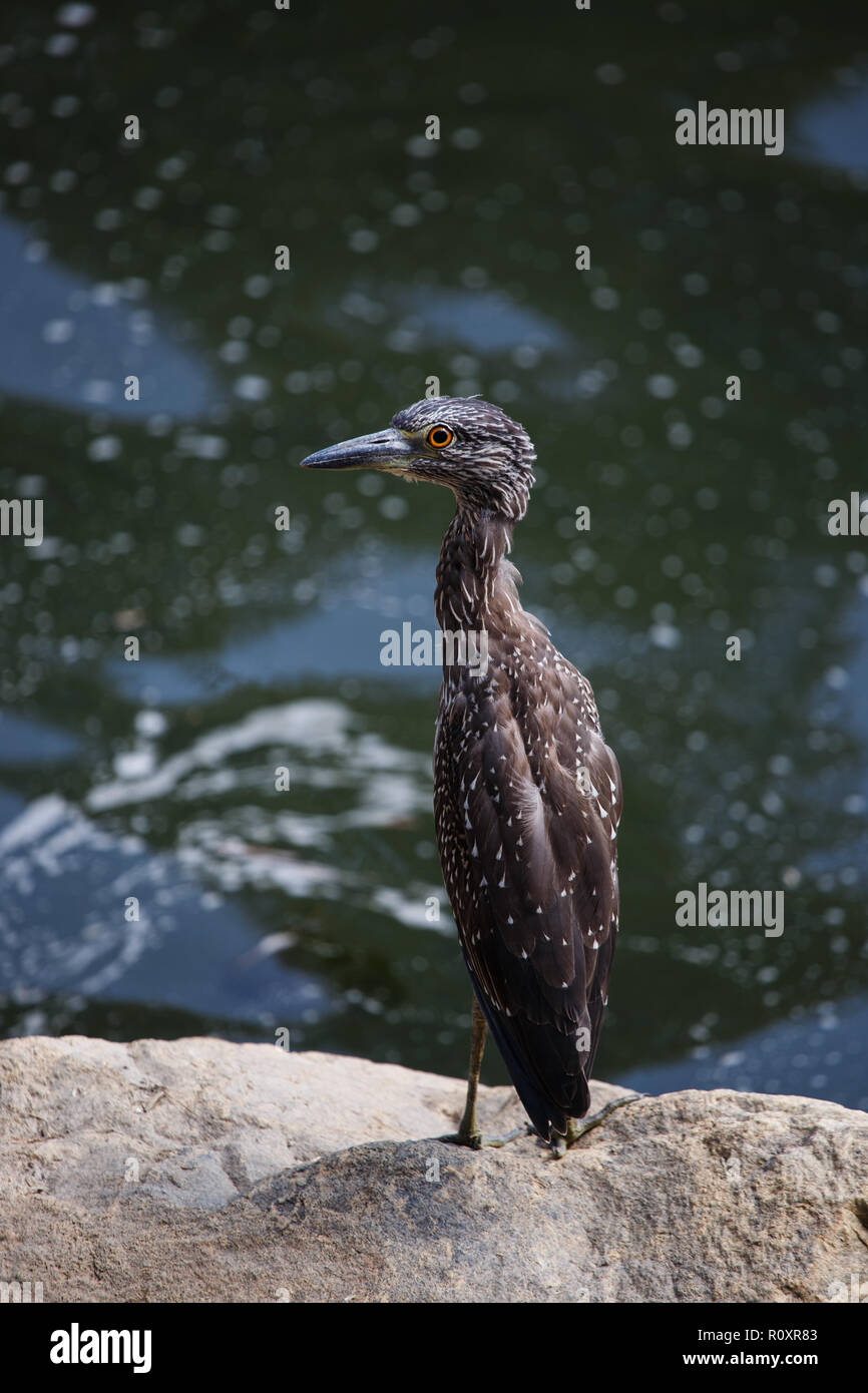 Immature Yellow-crowned Night Heron (Nyctanassa violacea), also called the American Night Heron or Squawk. Stock Photo