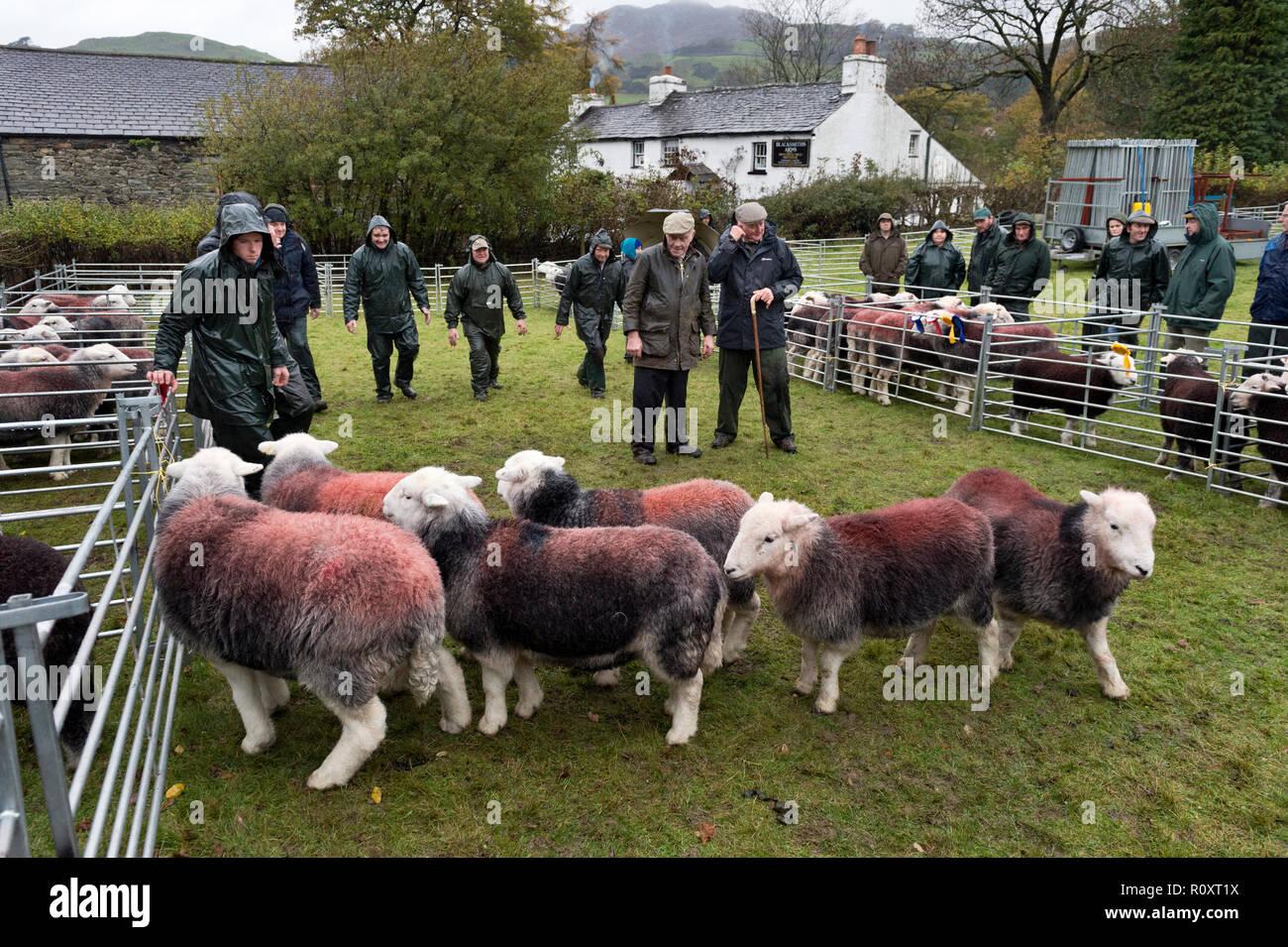 Judging Herdwick sheep, Walna Scar Shepherds Meet, Broughton Mills, Cumbria, November 2018. A traditional annual Lake District sheep show. Stock Photo
