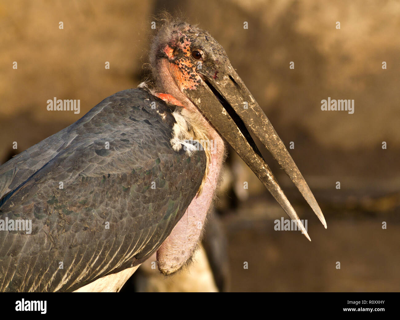 The Marabou Stork in portrait shows clear features of an avian scavenger and the bill of an aquatic predator - Stock Image