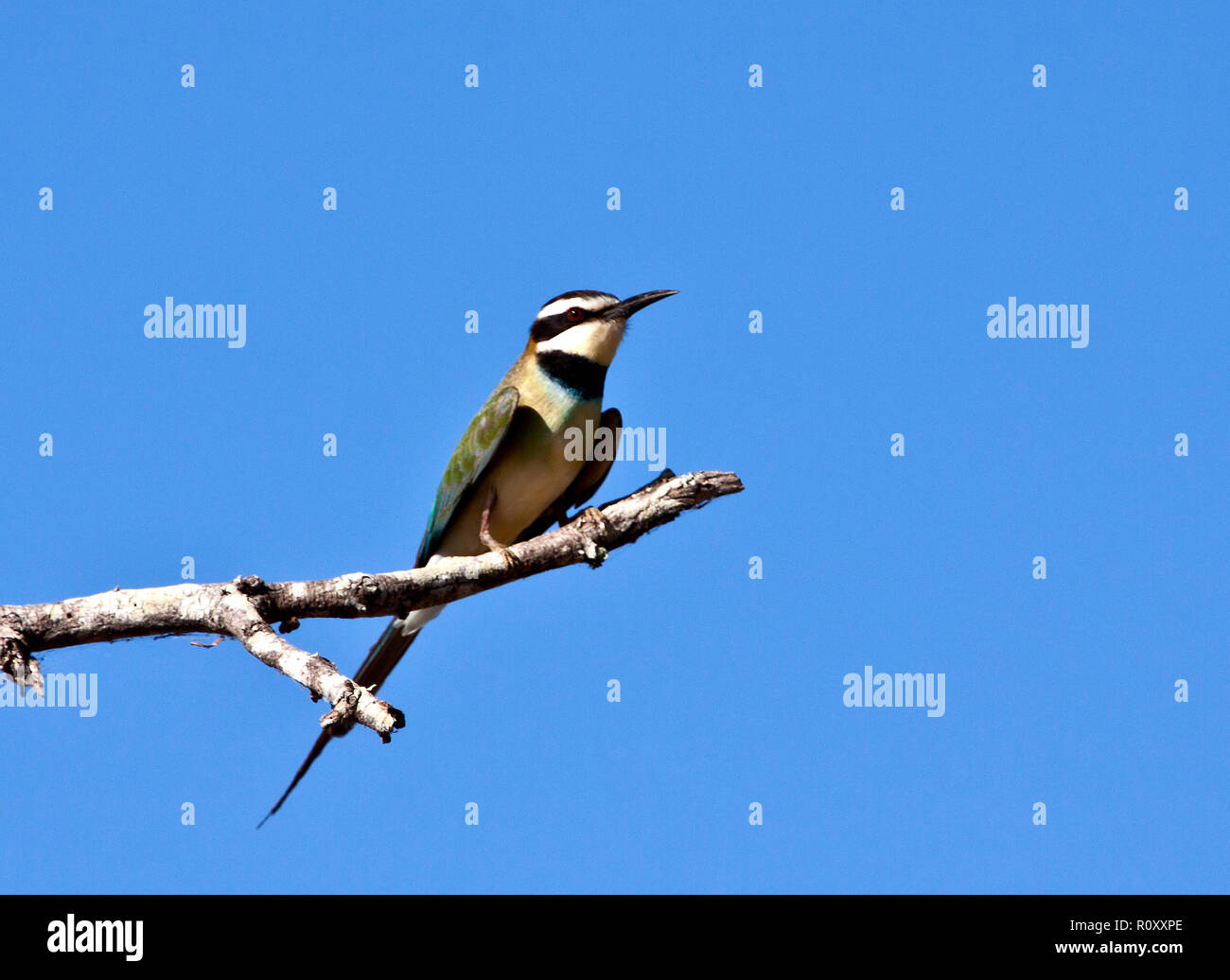 The White-throated Bee-Eater is an inter-African migrant that follows the rain season moving between it's breeding areas in the Sahel regions and East - Stock Image