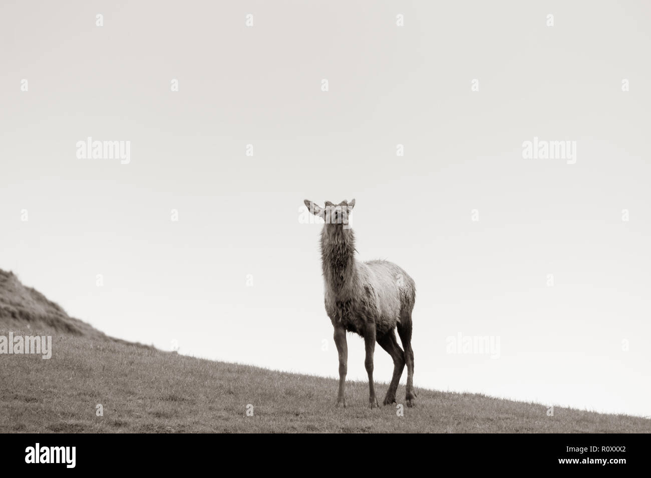 Deer farming in New Zealand, one red deer stands head raised and alert, sepia tones. - Stock Image